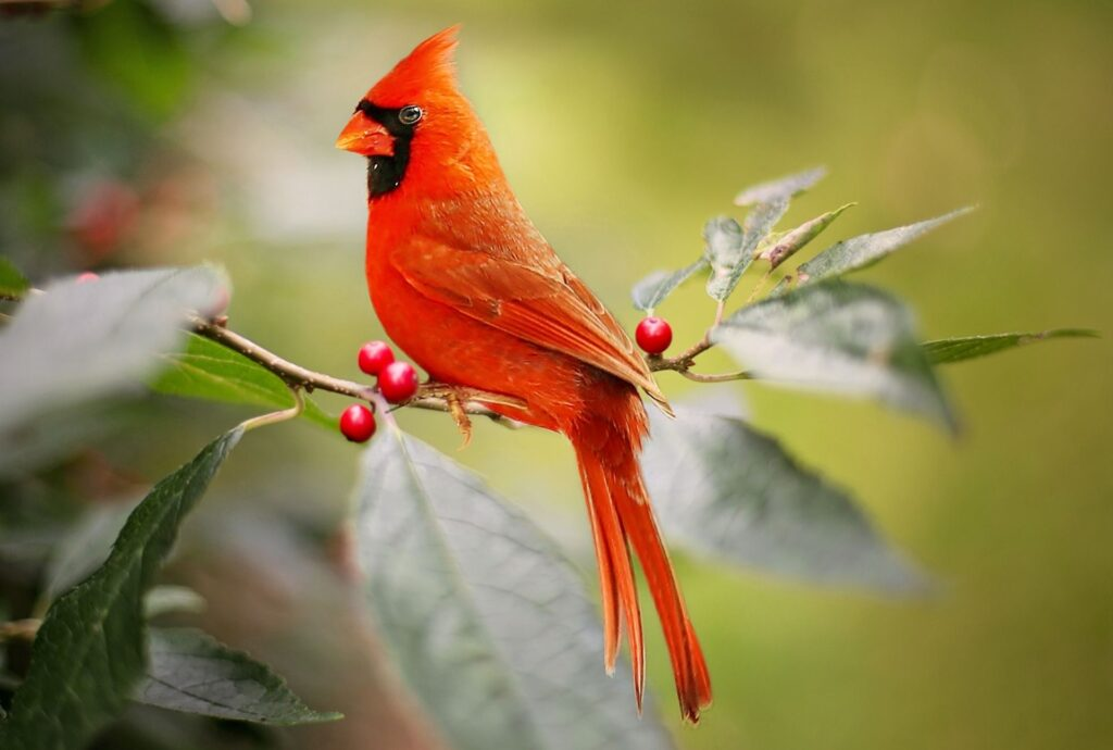 Cardinal, Sing Your Song | Listen & Learn Music